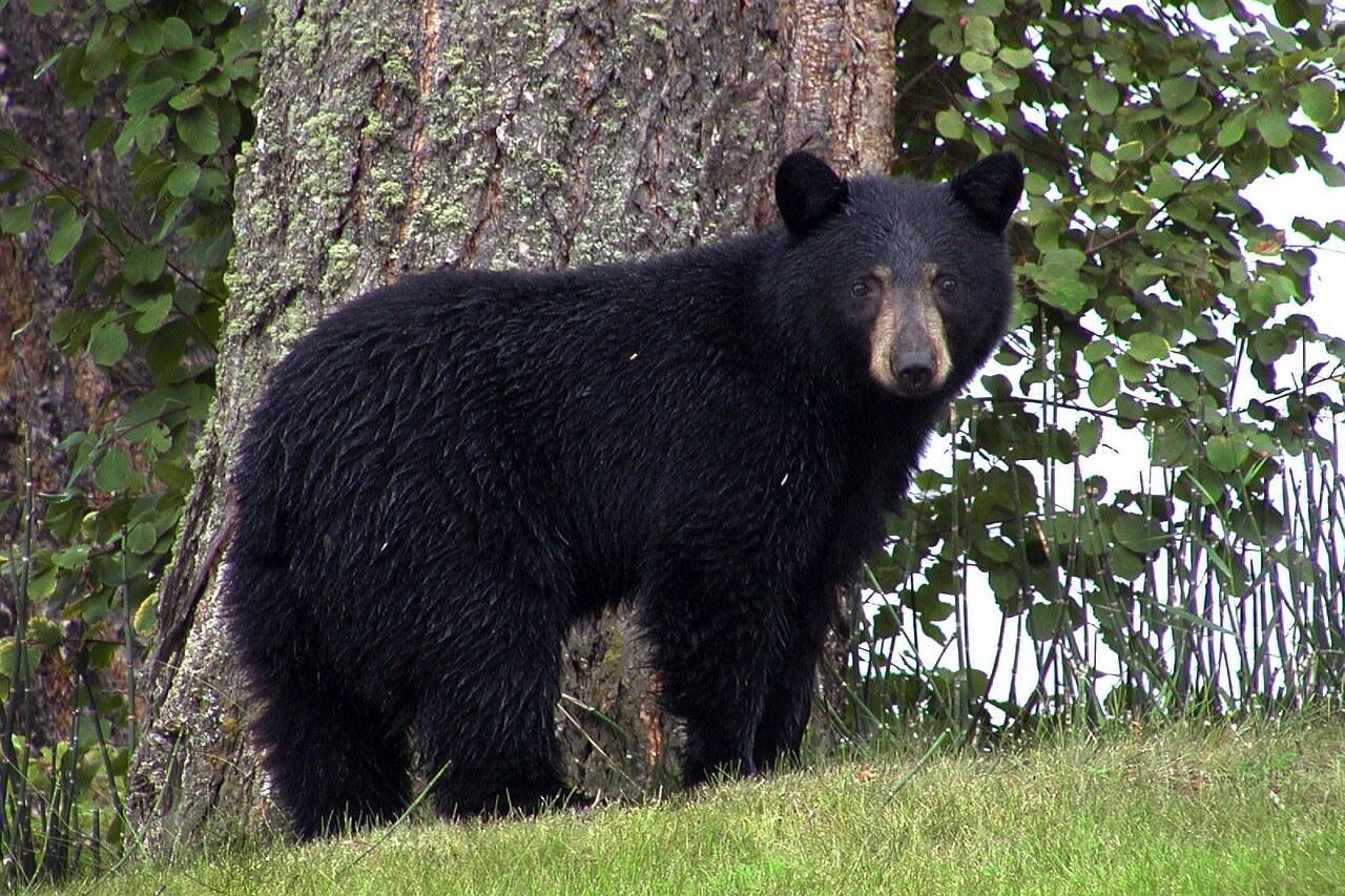 символ медведя
