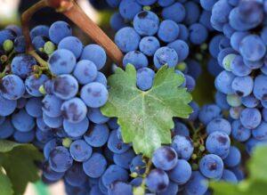 Символ винограда
