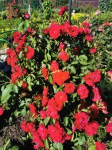 Фото красных роз