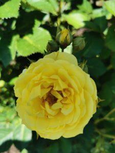 фото желтых роз