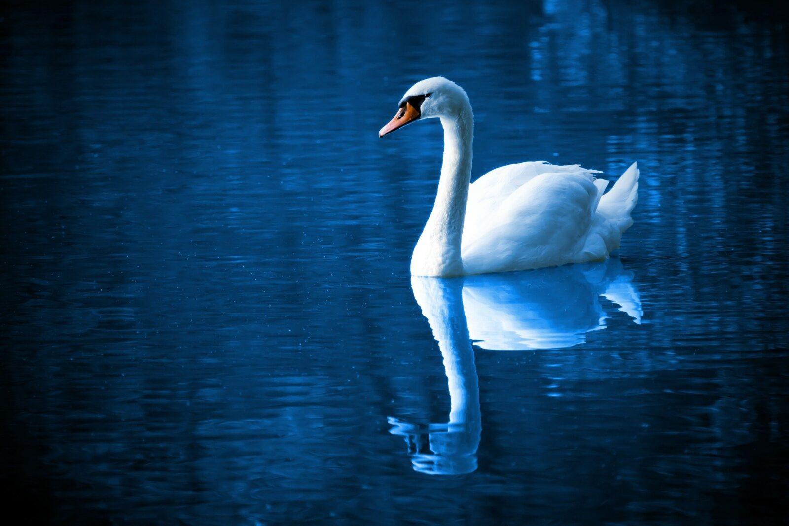 символ лебедя